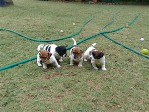 Beautiful Jacl Russell puppies for sale