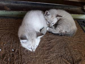 Lynx Point Kittens