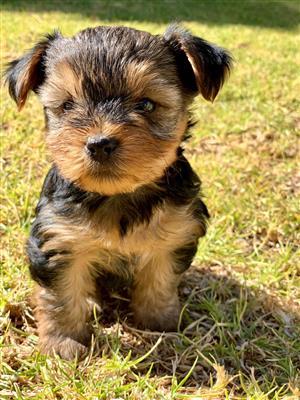 Yorkey Puppies