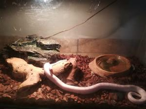 2 x corn snakes & huge cage
