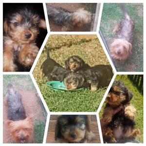 Yorkie pups for sale to pet lovers 8 weeks old  R500