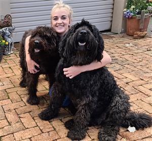 Bouvier des Flandres puppies available
