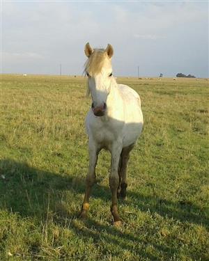 Crossbreed pony