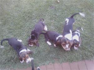 Bassset hounds