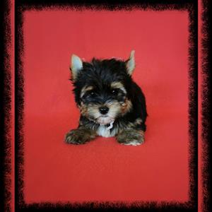 Miniature size Yorkie puppy available