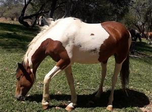 Litlle Sister pinto x mare