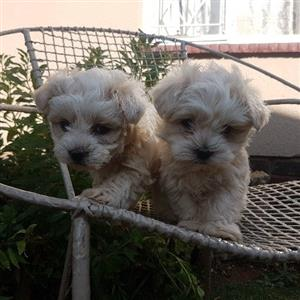 Mini Maltese poodle pups