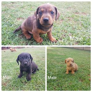 Miniature Dachshund (worsies) Puppies for sale