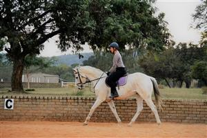 Grey Thoroughbred Gelding for sale (Including Tack)