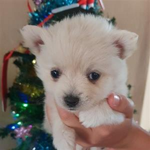 pocket size toypom puppies