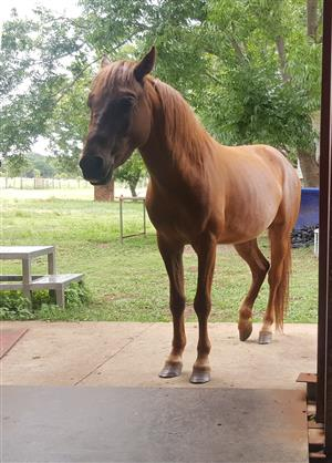 Basuto Pony ( Stallion ) Chestnut Urgent Sale