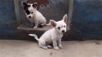 Toypom Cross Maltese male puppy
