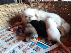 POSH MINIATURE PEKINGESE PUPPIES