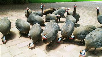 Guineafowls (domesticated)