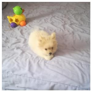 Toy pom puppies