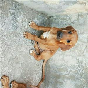 Ridgeback puppies Purebred