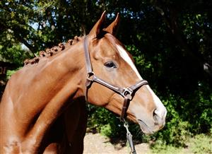 Stunning Thoroughbred gelding for sale