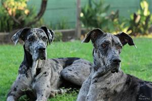 Beautiful Great Danes looking for loving home