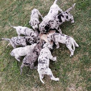 Grade Dane puppys firsale