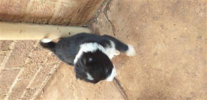 Collie/Alsation cross puppies