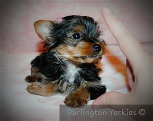 Very tiny yorkie puppy girl