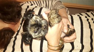 Yorkshire Terrier female puppy for sale (Small Breed)