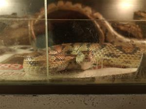 Corn snake and cage for sale