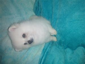 Pomerianion Toy Pom miniature puppy for sale