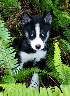 Siberian Husky Pups Registered