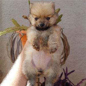 Mini pom puppies