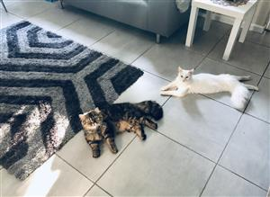 Ragdoll X Persian Kittens