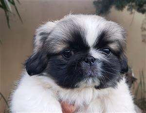 Gorgeous outgoing and loveable Pekingese Pups for sale to loving forever homes