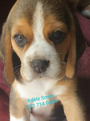 Adorable tri-colour, pure breed beagle puppies available - Kusa Registered
