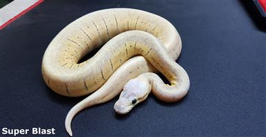 Baby ball pythons for sale (Durban)