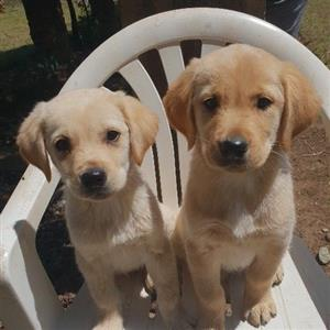 retriever labrador puppies