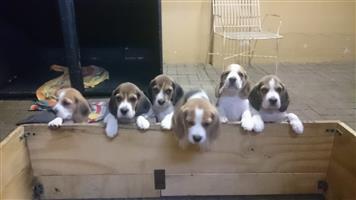 Beagle puppies (Tri-Colour) for sale