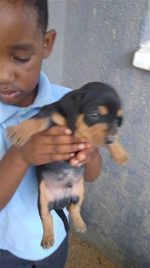 DACHSHUND PUPPIES LOOKING FOR LOVING HOMES