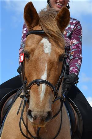 Palomino Crossbreed Pony Gelding for sale
