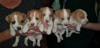 Jack Russell puppies 6 - 8 weeks R500 each contact Sylvia 0793373014