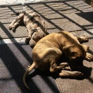 Great Dane baby pups
