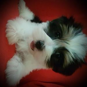 Gorgeous Parti Yorkshire Terrier Pups