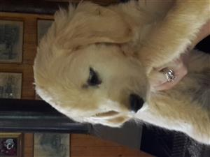 Purebred Golden Retriever Pup