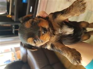 Male yorkie looking for forever home