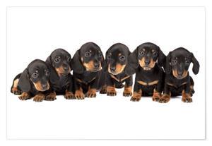Duchshund Puppies