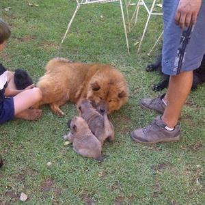 Chow Chow puppies brown and black