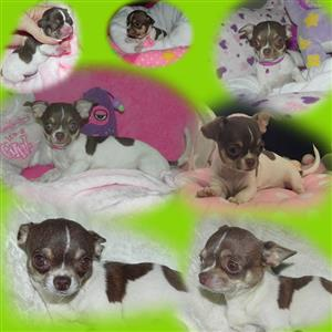 Small young adult sterilised chihuahua female