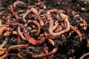 Fishing - Red Wiggler Worms - BAIT