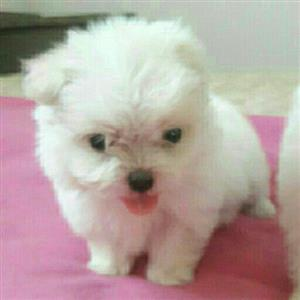 Toy/Teacup size Maltese puppies