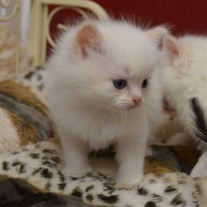 White Snow Fluffy Rag Doll kitties.