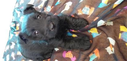 Scottish Terrier female puppy